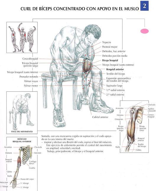 Curl de bíceps concentrado